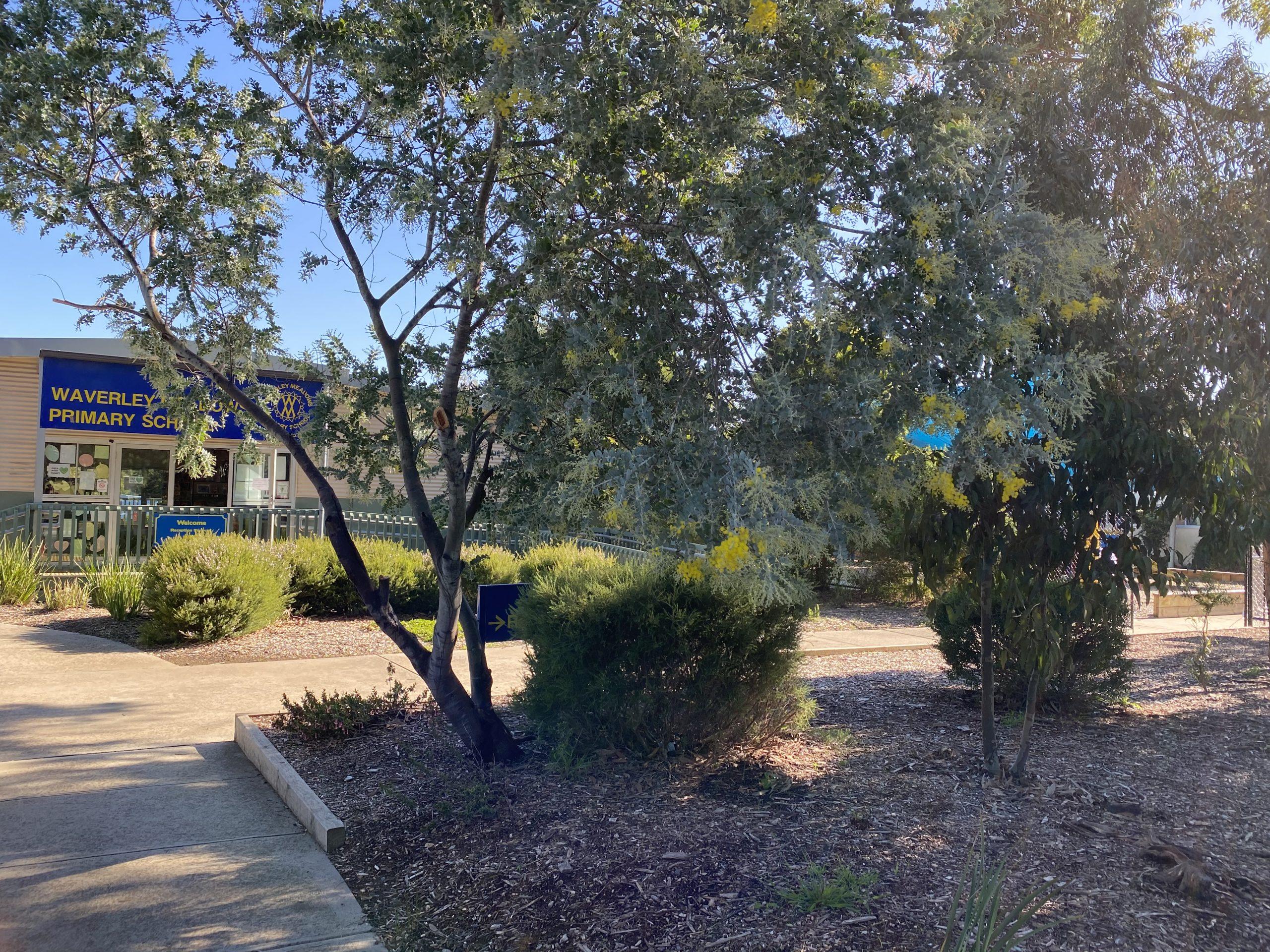 Wattle Tree scaled